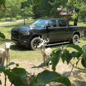 2020 Ram 1500 Limited in Diamond Black Crystal Pearl in the wilds with concrete deer and leaves